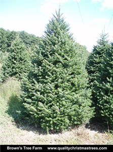 Balsam Fir Christmas Tree Image 1