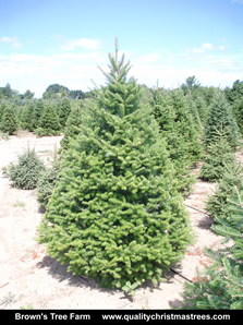 Balsam Fir Christmas Tree Image 2
