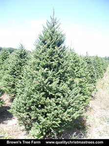 Balsam Fir Christmas Tree Image 3
