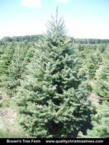 Balsam Fir Christmas Tree Image 4