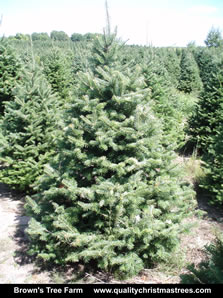 Balsam Fir Christmas Tree Image 5