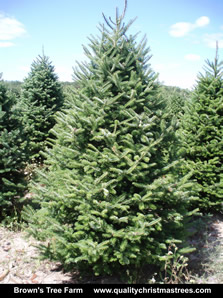 Balsam Fir Christmas Tree Image 6
