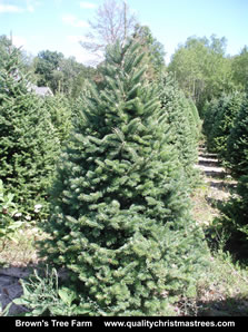 Balsam Fir Christmas Tree Image 7