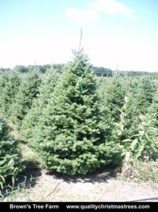 Balsam Fir Christmas Tree Image 8