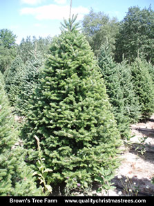 Balsam Fir Christmas Tree Image 9