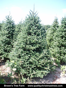Balsam Fir Christmas Tree Image 10