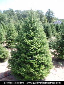 Balsam Fir Christmas Tree Image 11