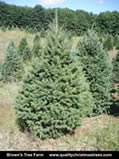 Douglas Fir Christmas Tree Image