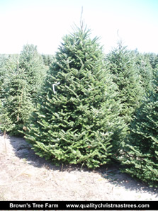 Fraser Fir Christmas Tree Image 1