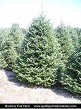 Fraser Fir Christmas Tree Image