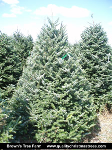 Fraser Fir Christmas Tree Image 2
