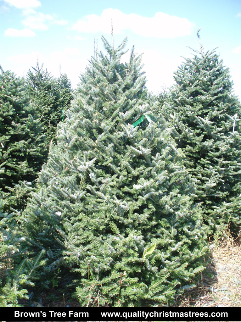 wholesale christmas trees north carolina