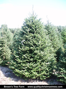 Fraser Fir Christmas Tree Image 3