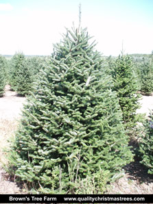 Fraser Fir Christmas Tree Image 4