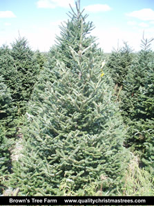 Fraser Fir Christmas Tree Image 5
