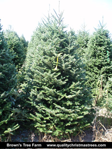 Fraser Fir Christmas Tree Image 6