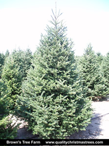 Fraser Fir Christmas Tree Image 7