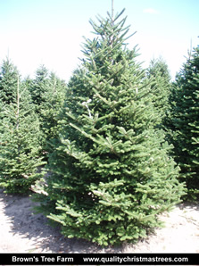Fraser Fir Christmas Tree Image 8