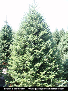 Fraser Fir Christmas Tree Image 9