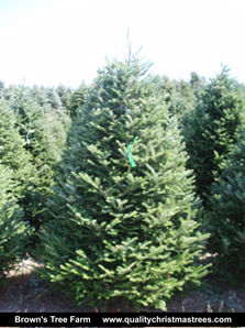 Fraser Fir Christmas Tree Image 10