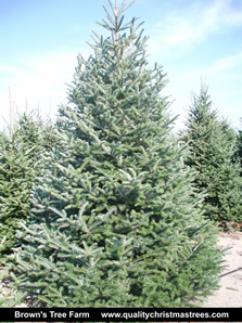 Fraser Fir Christmas Tree Image 11