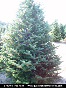 Fraser Fir Christmas Tree Image 12