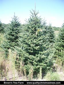 Fraser Fir Christmas Tree Image 13