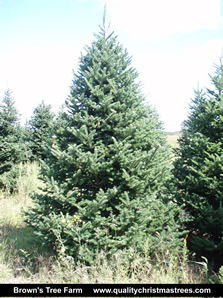 Fraser Fir Christmas Tree Image 14