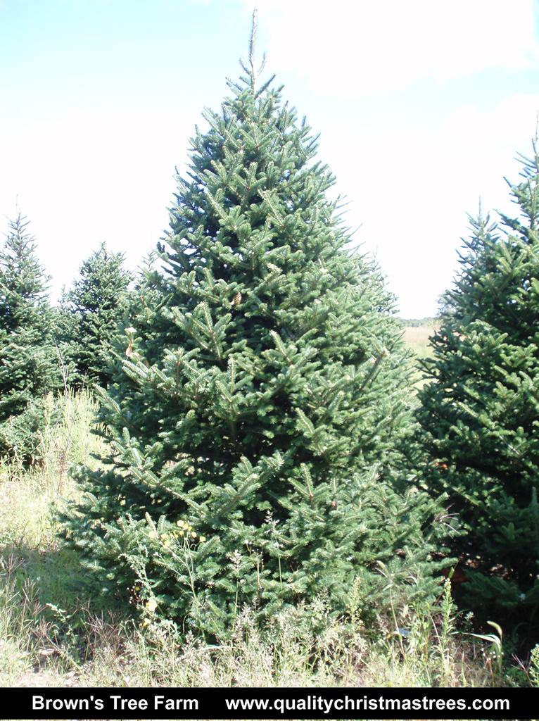 christmas tree wholesale prices