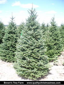 Fraser Fir Christmas Tree Image 15