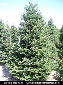 Fraser Fir Christmas Tree Image 16