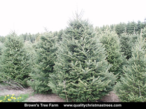 Fraser Fir Christmas Trees Image 17