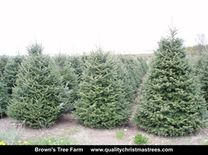 Fraser Fir Christmas Trees Image 18