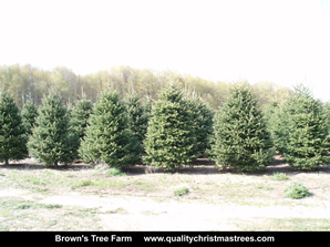 Fraser Fir Christmas Trees Image 19