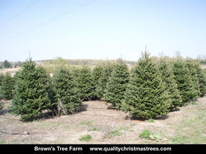 Fraser Fir Christmas Trees Image 20