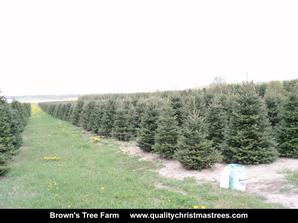 Fraser Fir Christmas Trees Image 21