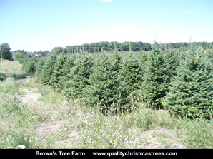 Fraser Fir Christmas Trees Image 22