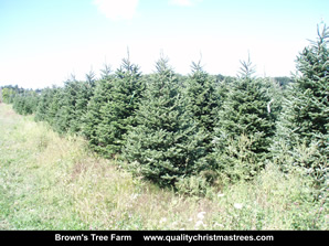 Fraser Fir Christmas Trees Image 23