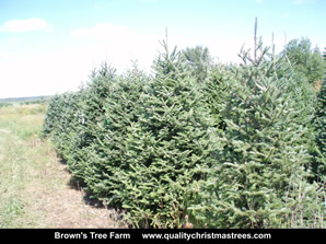 Fraser Fir Christmas Trees Image 24