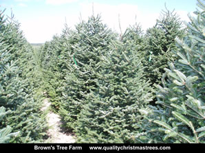Fraser Fir Christmas Trees Image 26