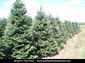 Fraser Fir Christmas Trees Image 33