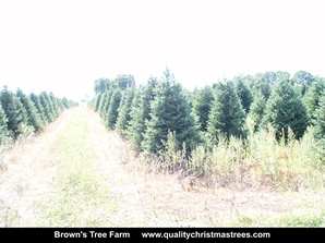 Fraser Fir Christmas Trees Image 34