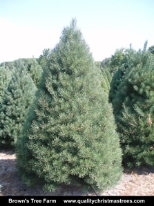 Scotch Pine Christmas Tree Image 1