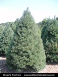 Scotch Pine Christmas Tree Image