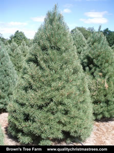 Scotch Pine Christmas Tree Image 2