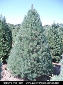 Scotch Pine Christmas Tree Image 3