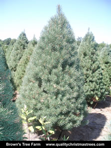Scotch Pine Christmas Tree Image 4