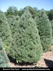 Scotch Pine Christmas Tree Image 5