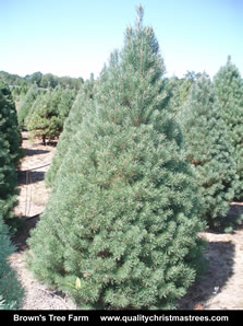 Scotch Pine Christmas Tree Image 6