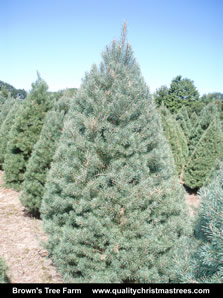 Scotch Pine Christmas Tree Image 7